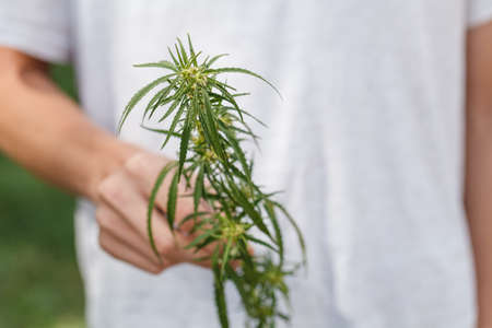 Green leaf of marijuana in a hand