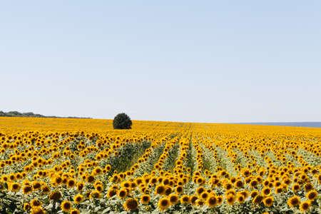Field of Sunflowers in summer.