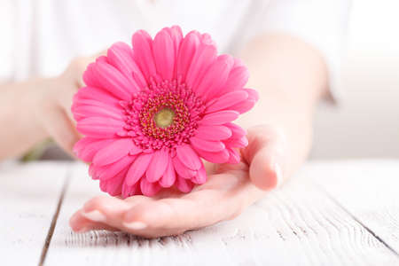Female healthcare concept, hand hold pink floower gerbera