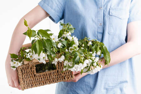woman hands holding apple blossom in her hands