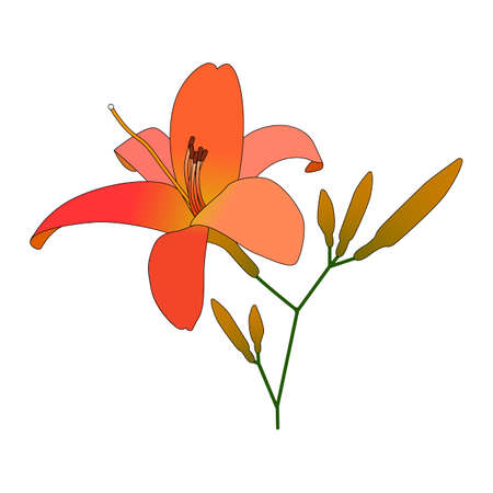Blooming lilies flat vector illustration. Branch of blossoming lily isolated on white background. Tropical branch of flowers with closed buds. Flower for printing on wallpaper, fabric, pajamas