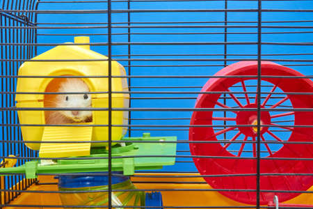 From the yellow house in the cage the Hamster is peeping Stock Photo