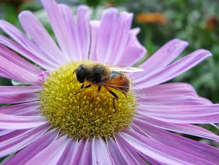 gathers: The bee gathers honey