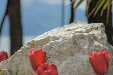 Single unusual stone and beautiful red tulips