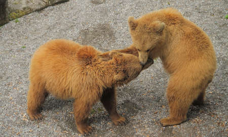Two bears having fun playing with each other Stock Photo