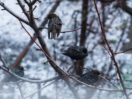 Starlings sitting on a tree branch