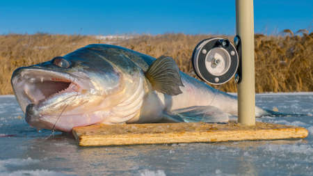 pikeperch: The pikeperch with big teeth on ice