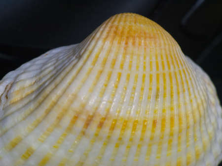 oceanic: The Shell on a dark background macro shot