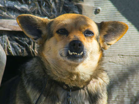Lovely domestic dog with big teeth closeup