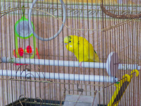 Beautiful yellow parrot in a cage