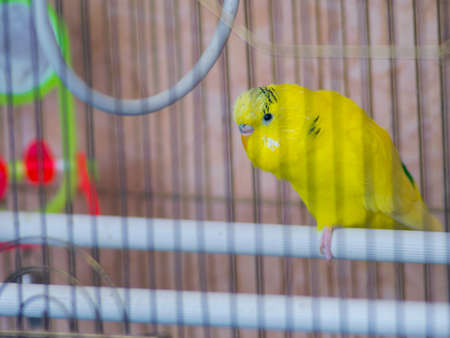 Cute yellow parrot in a cage