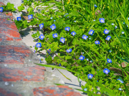 greengrass: Beautiful blue flowers among the green grass and red bricks Stock Photo