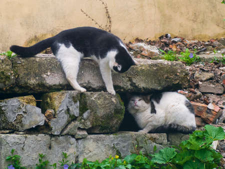 feral: A cunning cats fighting among the stones Stock Photo