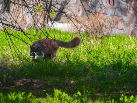 A cunning cat steals on the green lawn