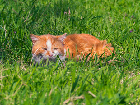 greengrass: A red cat hides in the grass
