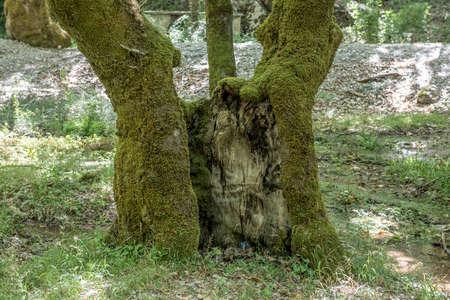 sicomoro: Il vecchio albero di sicomoro Archivio Fotografico