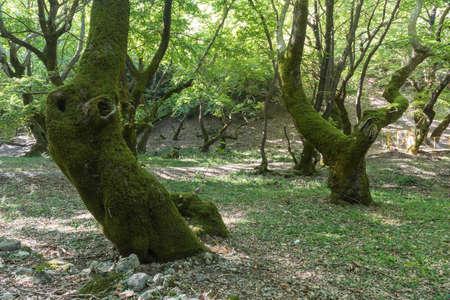 sicomoro: Vecchi alberi di sicomoro Archivio Fotografico