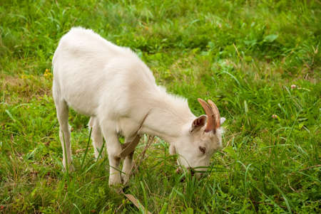 Goat grazes in a meadow and chews green grass.