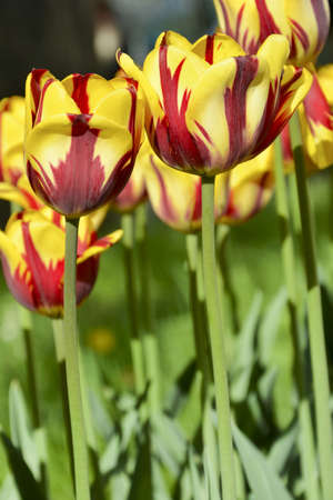 Colorful dark red and yellow tulip, with a red stroke. In the flowerbed. Helmar, Single Early class cultivar
