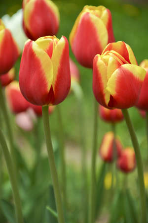 Nice colorful undisclosed with red and yellow border tulip in the flowerbed, botanical garden. Residence, Triumph class cultivar Stock Photo