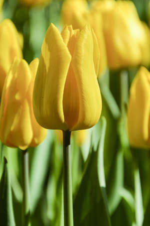 Nice yellow tulip lit by the sun.Colorful yellow tulip, close-up. In the flowerbed, botanical garden Stock Photo
