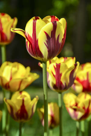 Colorful dark red and yellow tulip, with a red stroke. In the flowerbed. Helmar, Single Early class cultivar. Stock Photo