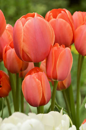 Nice colorful red tulip Ad Rem in the flowerbed, botanical garden. Thin yellow border, red and orange color transition. Ad Rem, Darwin Hybrid class cultivar.