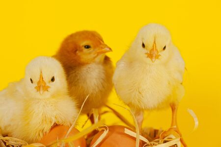 Three small baby chicken with eggs against yellow background photo