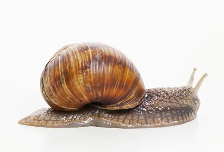 Snail moving against the white background