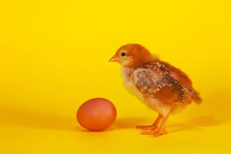Small chicken staying with Easter egg against yellow background photo