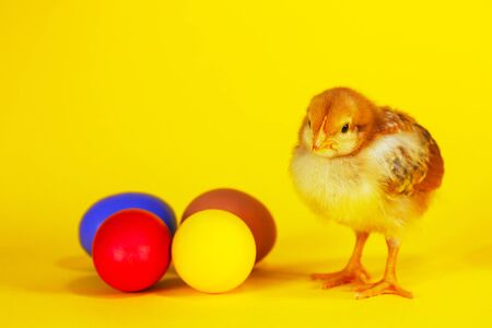 Small chicken staying with colorful Easter eggs against yellow background Banco de Imagens