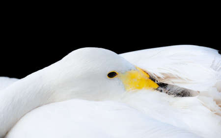 Whooper swan closeup isolated on black Stock Photo - 5813832