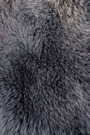 blue grey coat: Polar fox gray fur texture