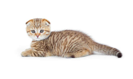 Striped Scottish kitten fold pure breed lying isolated Stock Photo - 8577779