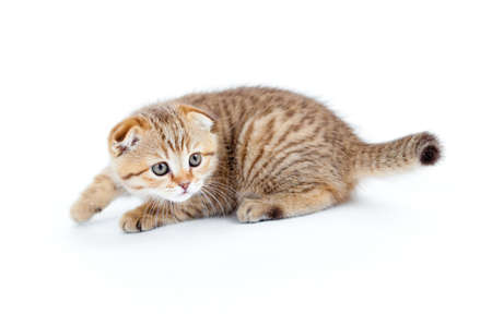Striped Scottish kitten fold pure breed stalking isolated Stock Photo - 8577726