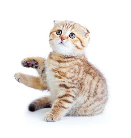 Striped Scottish kitten fold pure breed sitting isolated Stock Photo - 8577725