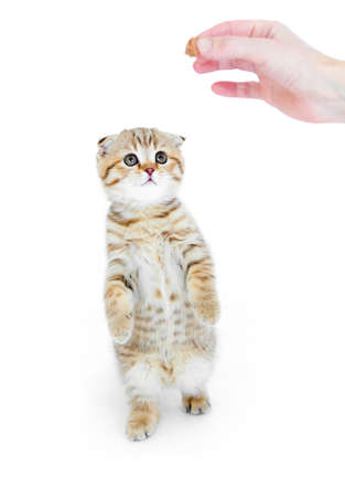 Striped Scottish kitten fold pure breed standing isolated photo
