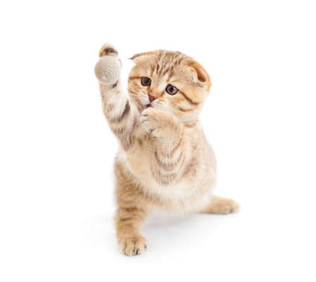 Striped Scottish kitten fold pure breed playing ball isolated Stock Photo - 8577753