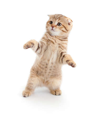Striped Scottish kitten fold pure breed dancing isolated Stock Photo - 8577754