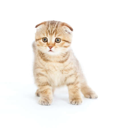 Striped Scottish kitten fold pure breed staying four legs isolated photo