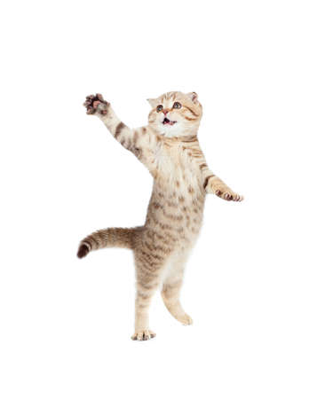 jumping kitten or cat  striped Scottish fold isolated studio shot photo