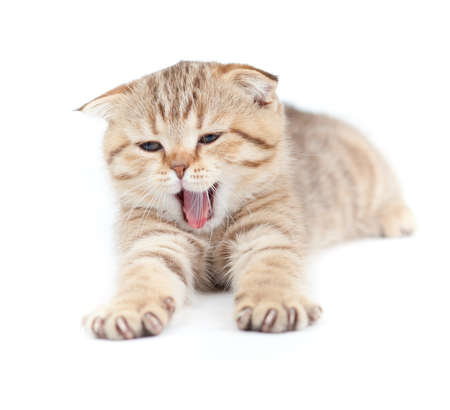 Yawning striped Scottish kitten lying isolated Stock Photo - 8685784