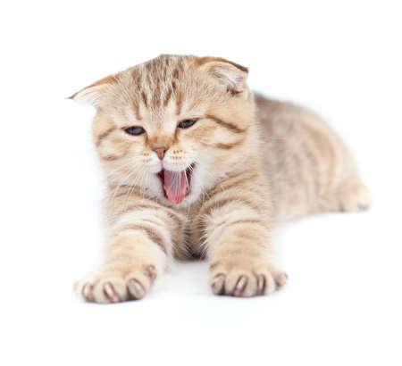 Yawning striped Scottish kitten lying isolated Stock Photo - 8685784