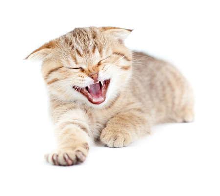 Yawning striped Scottish kitten lying isolated Stock Photo - 8685785