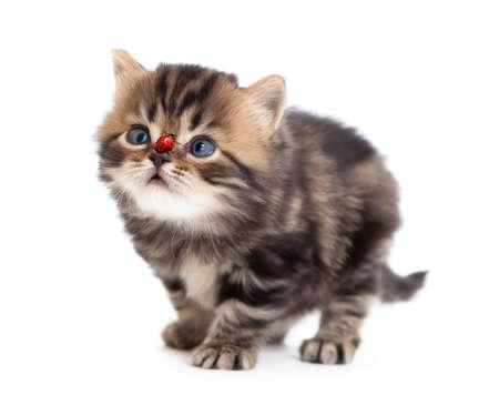tabby british little kitten looking up isolated photo