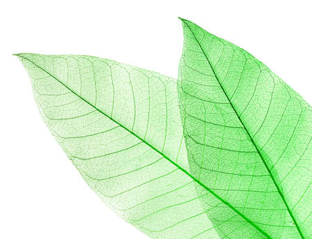 Two dried green leaves isolated on white photo