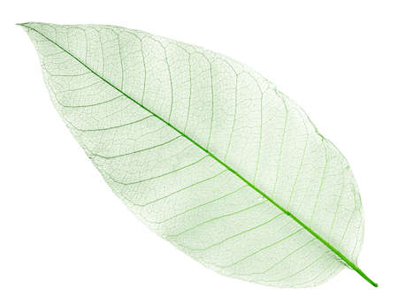 dried green leaf isolated on white photo