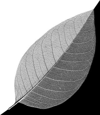 dualism: black and white leaf veins skeleton Stock Photo