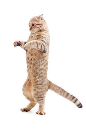 standing kitten or cat  striped like Godzilla Stock Photo
