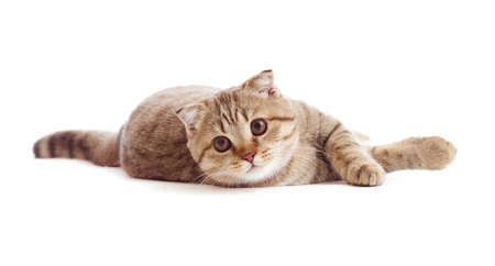striped British kitten lying with opened mouth isolated photo